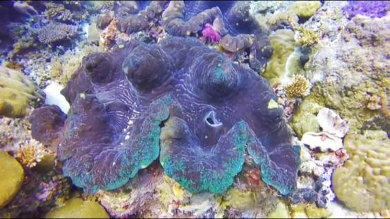 [팔라우에서 온 힐링레터] 바닷 속 한 켠의 100살 인생 - 대왕조개