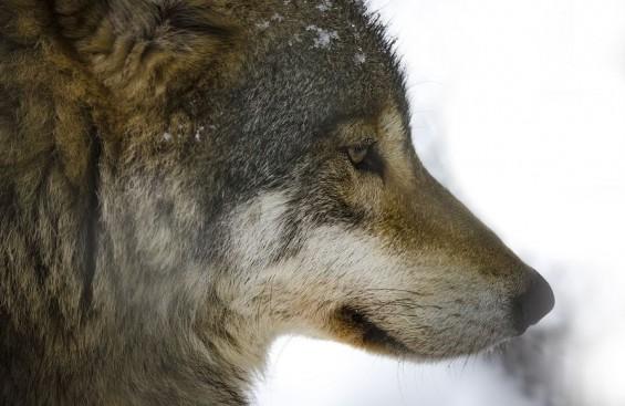 2018년 황금 개의 해 아닌 황금 늑대의 해일 수도 있다