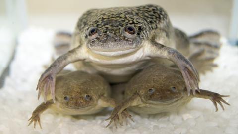 아프리카 발톱 개구리, 이종 교배 비밀 밝혀졌다