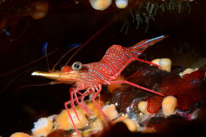 [금상-국제부]투명한 바다새우의 모습 - Guglielmo cicerchia, 대한수중핀수영협회 제공