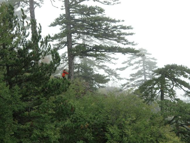 발레리 트로엣 교수가 그리스 올림푸스 산에서 발견한 오래된 소나무에서 연필심 굵기의 시료를 채취하고 있다. - 발레리 트로엣 제공