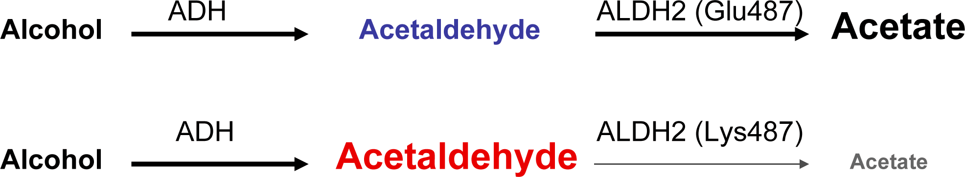 Aldh2 한 쌍이 모두 표준형이 경우 알코올의 대사물인 아세트알데히드가 바로 아세트산으로 바뀌지만(위) 하나가 (487번째 아미노산이 글루탐산에서 라이신으로 바뀐) 변이형인 경우 효율이 크게 떨어져 아세트알데히드가 축적돼 각종 문제가 나타난다(아래). - '플로스 의학' 제공