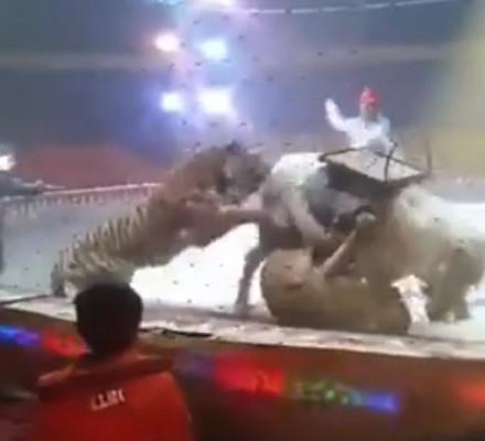 서커스 호랑이들이 말을 공격해 '깜짝'