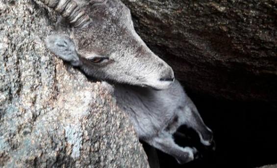 바위 사이에 낀 염소 구출