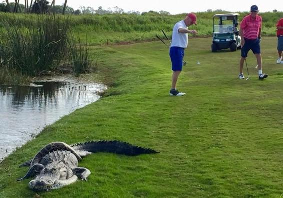골프장에서 악어와 비단뱀 사투