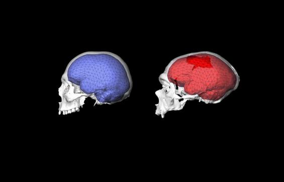 인류 문명 만든 일등공신, 뇌 크기 아닌 뇌의 '모양'