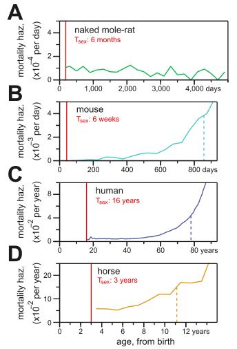 포유류 네 종의 나이에 따른 사망률을 나타내는 그래프로 위로부터 벌거숭이두더지쥐, 생쥐, 사람, 말이다. 벌거숭이두더지쥐는 나이가 들어도 사망률이 높아지지 않음을 알 수 있다. (제공 '이라이프')