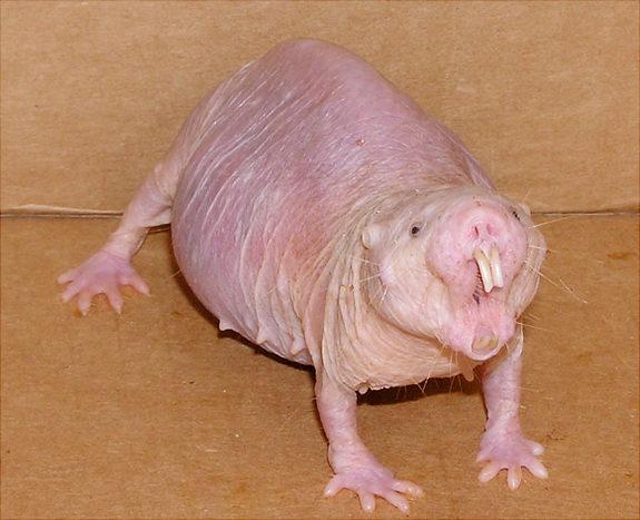 벌거숭이두더지쥐(naked mole rat). ikipedia 제공
