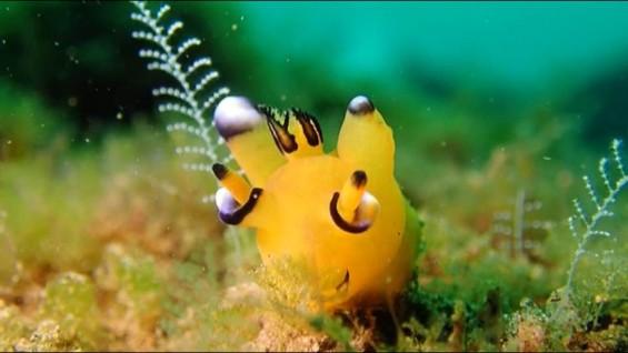[팔라우 힐링레터] 바다 속 포켓몬? 피카추를 닮은 갯민숭 달팽이
