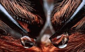 [표지로 읽는 과학] 거미 송곳니에 맺힌 독 방울