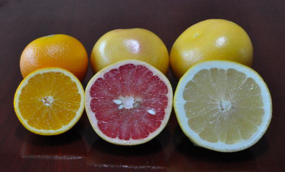 스위트오렌지(왼쪽)와 포멜로의 잡종인 전형적인 그레이프프루트(가운데)에 비해 추가로 포멜로와 교잡해 얻은 멜로골드그레이프프루트(오른쪽)는 크기도 더 크고 생김새도 포멜로에 더 가깝다. -강석기 제공