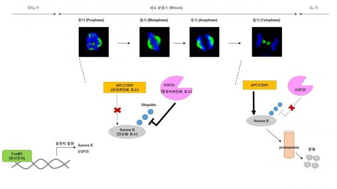 세포분열과정동안 USP35에 의한 Aurora B 단백질의 조절 기전 -KIST 제공
