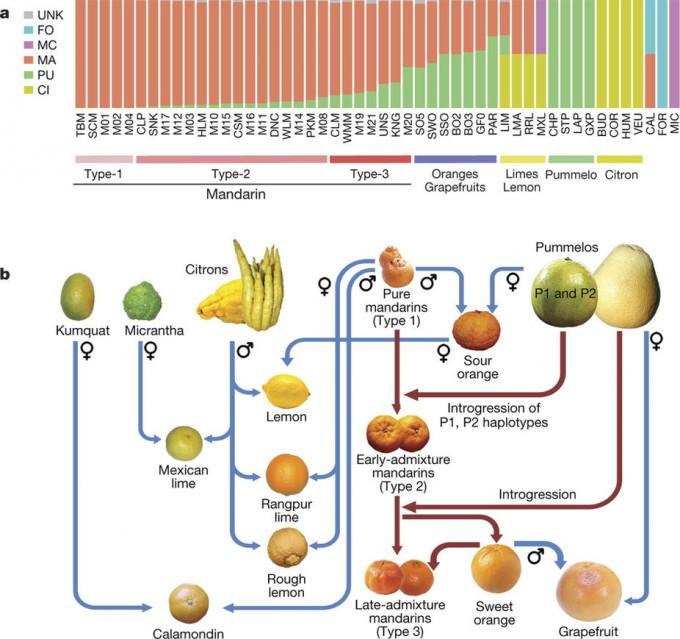 감귤류 58가지의 게놈을 토대로 구성한 가계도다. 만다린이 중심에 있지만 포멜로가 약방의 감초 역할을 했음을 알 수 있다. 위는 감귤류 각각의 게놈에서 원종 기여도를 보여주는 그래프로 주황색이 만다린, 녹색이 포멜로, 노란색이 시트론이다. 유형3(Type-3)의 UNS가 귤(온주밀감)이다. -네이처 제공