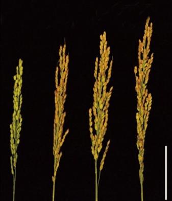 대조군인 일반 벼(맨왼쪽)과 달리 질소운반체(OsNRT1.1A)를 돌연변이한 벼들이 모두 더 크게 자랐다. 가장 오른쪽이 생산성이 최대로 측정된 벼의 모습니다-중국과학원