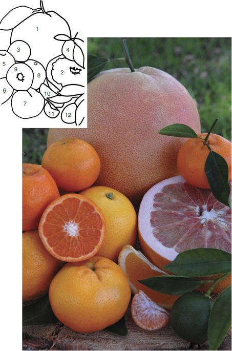 포멜로(1,2), 만다린(3~7), 만다린 과육(9,11), 스위트오렌지(8,10), 덜 자란 광귤(12) -'네이처 바이오테크놀로지' 제공