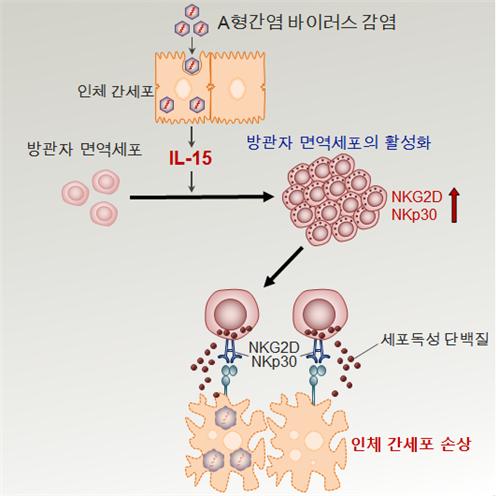 A형 간염 바이러스로 인해 활성화되는 방관자 면역세포는 세포독성 단백질을 분비해 간세포를 손상시킨다. -KAIST 제공
