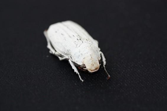 흰 딱정벌레 모방한 친환경 흰색 코팅제