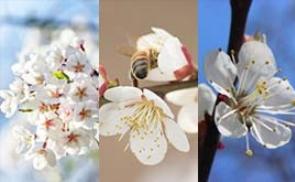 척보면 딱 아는 벚꽃, 매화, 살구꽃 구별법