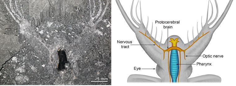 케리그마켈라의 두뇌가 보존된 화석과 머리 신경 복원도. 극지연구소 제공.