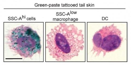 진피에는 다양한 면역세포가 분포하는 것으로 보이는데 아직 그 전모를 제대로 파악하지 못하고 있다. 생쥐의 꼬리 진피에 타투를 한 뒤 조사한 결과 특정 유형의 대식세포(왼쪽)가 안료(녹색)를 머금고 있는 것으로 밝혀졌다. 다른 유형의 대식세포(가운데)나 수지상세포(오른쪽) 내부에는 타투 안료가 없다. - '실험의학저널' 제공