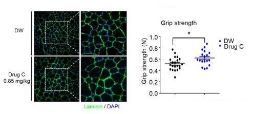 왼쪽은 세틸피리디늄을 섭취한 쥐(아래)가 물을 먹은 쥐(위)보다 단일근섬유의 면적이 증가한 모습. <br>오른쪽은 세틸피리디늄을 섭취한 쥐가 물을 먹은 쥐보다 악력이 증가한 것을 나타낸 표. -한국생명공학연구원 제공