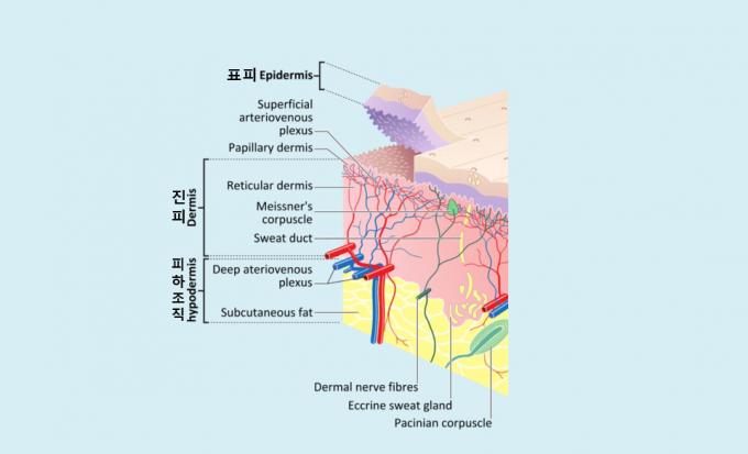 피부의 단면을 도식화한 그림으로 위에서부터 표피(epidermis), 진피(dermis), 피하조직(subcutis)로 이뤄져 있다. 표피세포는 한 달 주기로 교체되는 동적인 구조이고 진피는 세포들이 오래 제자리를 지키는 정적인 구조다. - 위키피디아 제공
