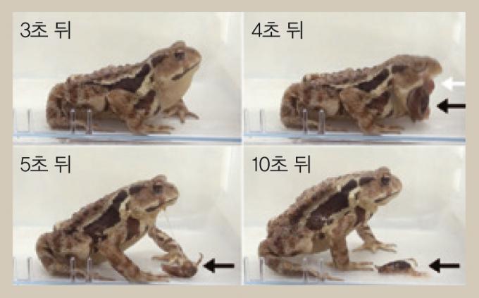 폭탄먼지벌레를 삼킨지 4초 만에 토해내는 두꺼비. 일본 고베대학교 연구팀은 두꺼비가 폭탄먼지벌레를 삼킨 뒤 토해내기까지의 전과정을 연속촬영했다 - Biology Letters고