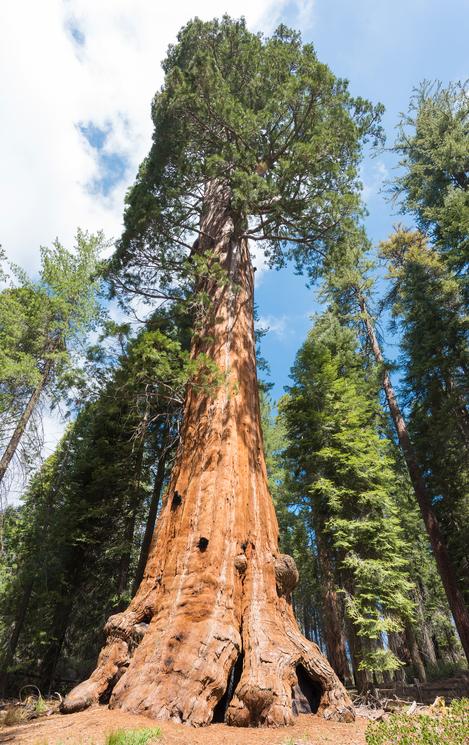 지구에서 가장 큰 나무인 자이언트 세콰이어는 두꺼운 껍질 덕에 산불에 견디는 능력이 뛰어나다. -GIB 제공