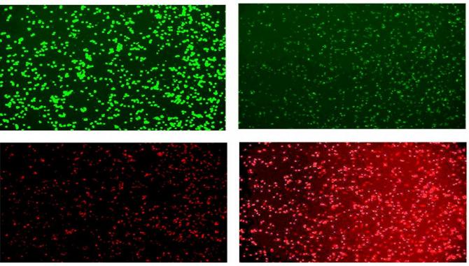 PG와 VG가 포함된 향을 주입했을 때(오른쪽) 살아있는세포(초록)보다 죽어있는세포(빨강)가 압도적으로 많은 것이 확인됐다.-North California University 제공