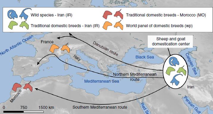 야생 양과 염소가 모두 중동에서 약 1만 5000년 전에서 1만년 전 사이에 처음으로 길들여져 북아프리카와 유럽으로 퍼져나갔다-Univ. Grenoble Alpes