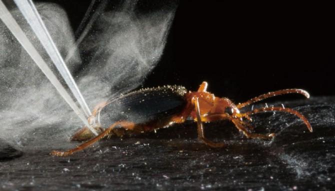 후보1. 폭탄먼지벌레. 위협을 느낀 순간 꽁무늬에서 유독물질인 벤조퀴논과 뜨거운 수증기를 뿜어낸다 - 어린이과학동아 6호 제공