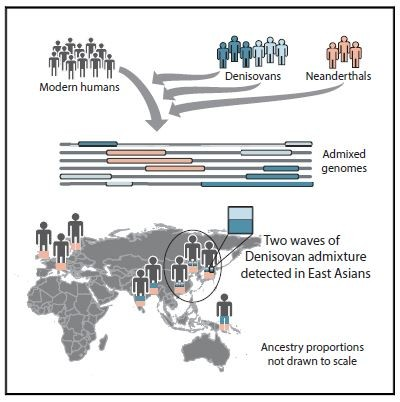 유럽과 중동 등에서 생활했던 네안데르탈인(살색)과 크로마뇽인(검은색)은 중앙아시아, 남아시아 등에서 교배가 이뤄졌다. 또 이 둘의 교배종과 테니소바인은 동아시아와 오세아니아에서 최소 2번 교배한 것이 확인됐다. 고대 인류종들이 언제 유전적으로 분리돼 어떻게 이주했으며, 어디에서 교배가 일어났는지는 아직 해결되지 않고 있다. (-University or Washington 제공