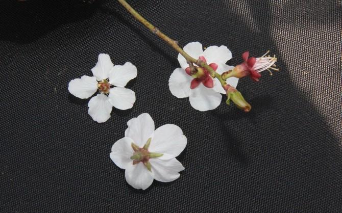 살구꽃(왼쪽 위), 벚꽃(아래), 매화(오른쪽 위) 뒷면. 각각 꽃받침이 젖혀진 모습, 뾰족한 별 모양, <br>둥그런 모양으로 각각 다르게 생겼다. -동아사이언스 이혜림 기자 제공