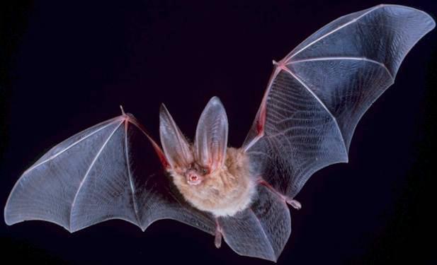 독특한 특징을 지닌 동물들. 범고래(위 사진)는 인체와 미세각막 관련 DNA를 공유한다. 박쥐는 사지 형성과 관련한 DNA가 인간의 특수 질병 연구에 활용될 것으로 기대된다.  -사진제공 위키피디아