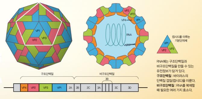 구제역 바이러스 표면의 VP1단백질이 소나 돼지의 세포에 결합해 침투한뒤 증식하면 감염증이 발생한다.-과학동아 제공