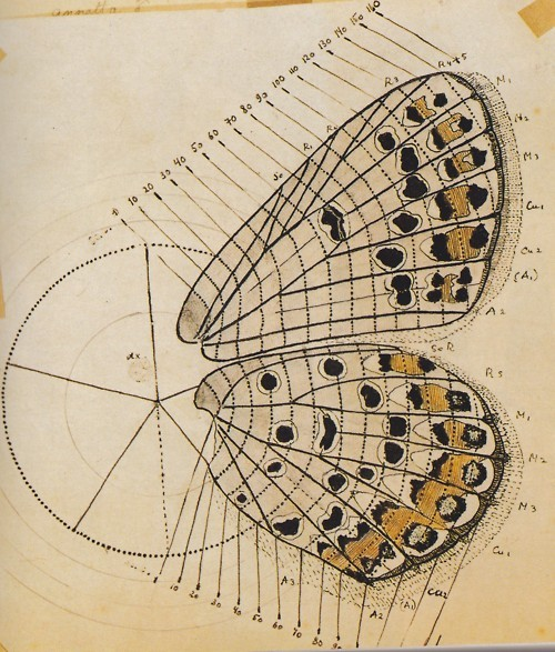 """인시류학자 커트 존슨은 """"나보코프의 공식적인 학술논문은 지극히 치밀하여 그 내용을 따라가기 어렵다""""고 평가했다. 나보코프 역시 자신의 과학 연구에 자부심이 컸다. 한 인시류학자가 책에서 """"나보코프의 최근 연구는 이 속(Lycaeides)을 전적으로 새롭게 분류해냈다""""고 쓴 걸 보자 """"이거야말로 진정한 명성입니다. 어떤 문학평론가에게도 들을 수 없는 최고의 찬사입니다""""라며 기뻐했다. 나보코프가 분류를 위해 그린 나비 날개 그림으로 그의 치밀함을 엿볼 수 있다. - 블라디미르 나보코프 제공"""