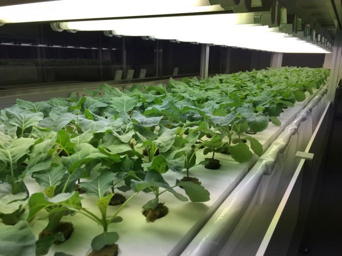 인공 LED 조명과 배양액을 이용하는 실내형 식물공장(스마트팜)-사진 제공 KIST