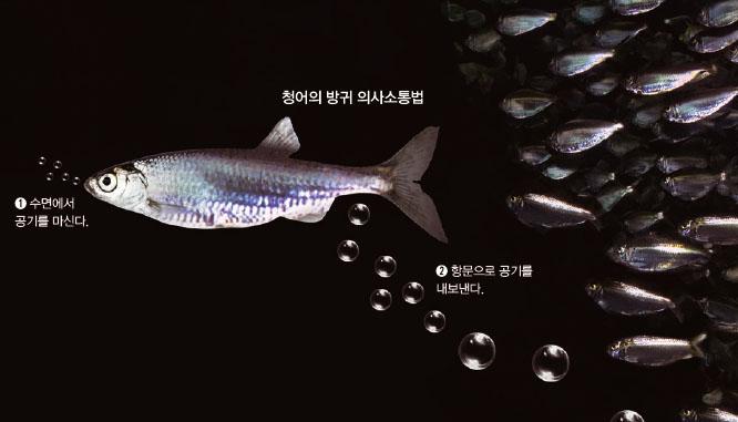 후보 3. 청어 - 사진 GIB 제공