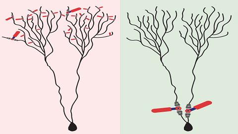도널드 헵이 제시한 시냅스 가설에서는 신경세포 말단에 위치한 미세 수상돌기의 연결점인 시냅스 틈마다 정보의 통과여부를 결정하는 밸브(Red)가 있다(왼쪽). 하지만 연구팀은 신경세포체 주변에 거대한 몇몇 수상돌기에만 정보 밸브가 있어 이를 통해 보다 빠르게 학습이 가능하다는 가설을 제시했다.  -BAR ILAN UNIVERSITY