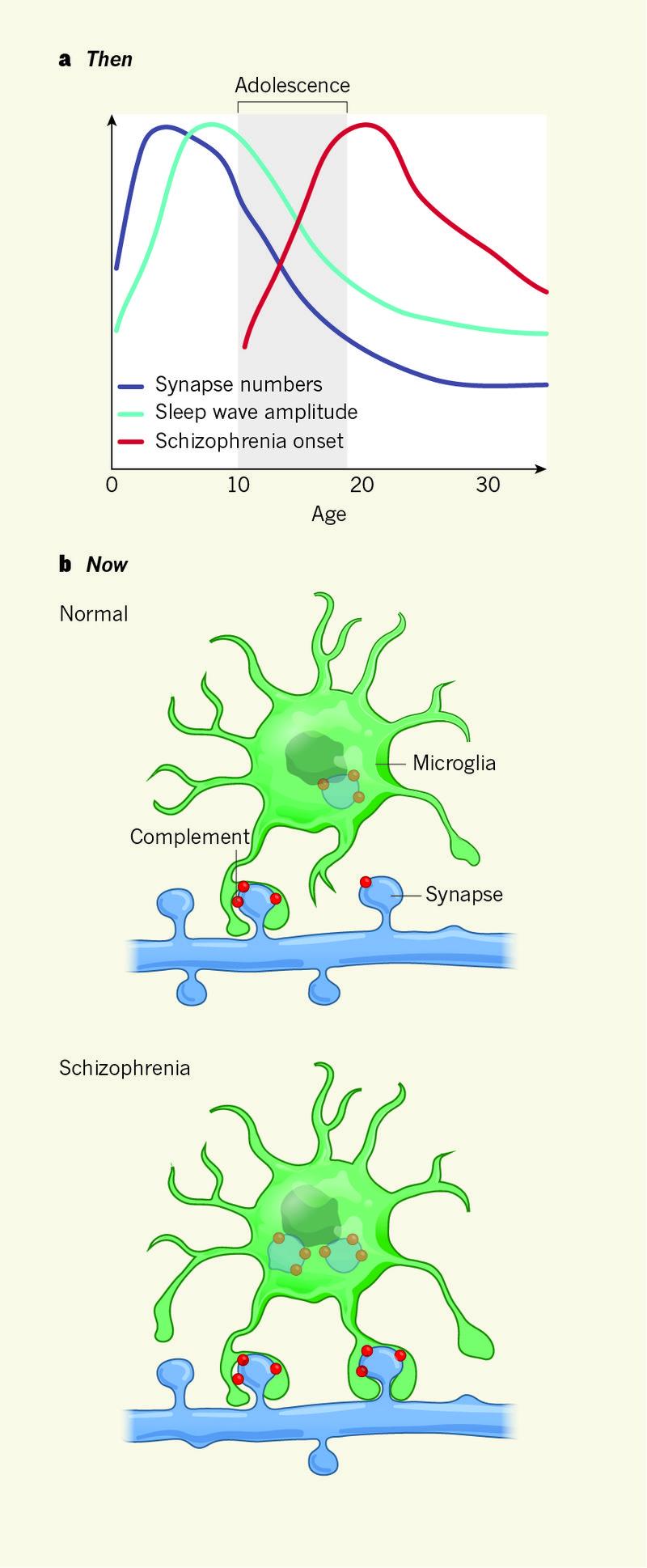 1983년 가지치기 가설이 나오고 30여 년이 지나는 사이 이를 지지하는 연구결과가 쌓이면서 확고한 위상을 얻었다. 위의 그래프는 1983년 당시 연구결과를 요약한 것으로 나이에 따른 수면파 진폭(하늘색)과 시냅스 수(보라색), 조현병 발병 시기(빨간색)의 관계에서 추론해 이 가설이 나왔음을 보여준다. 아래는 조현병 관련 유전자를 규명한 결과 제시된 메커니즘으로 보체 단백질(빨간색)이 너무 많이 만들어질 경우 마이크로글리아가 수상돌기 가시(시냅스)를 과도하게 없앤다. - '네이처' 제공