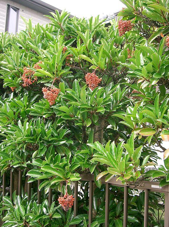 내화성이 뛰어나 방화수로 쓰이는 아왜나무. -KENPEI(Wikimedia) 제공