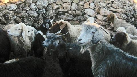 북아프리카 모로코지역의 양과 염소- Univ. Grenoble Alpes