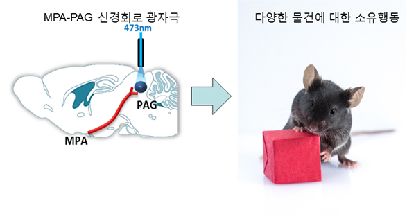 전시각중추 신경회로가 소유행동을 나타내는 모식도 -KAIST 제공