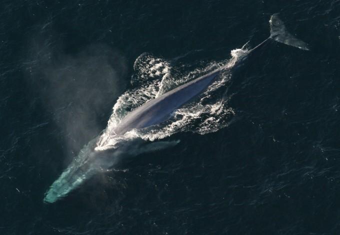 지구에서 가장 큰 동물, 흰수염고래(대왕고래). -사진 제공 미국해양대기청(NOAA)