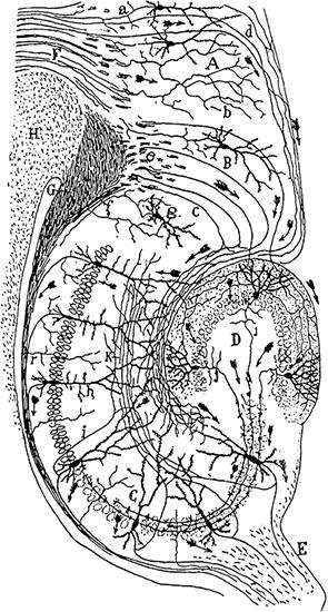 스페인의 저명한 신경해부학자로 1906년 노벨생리의학상을 받은 산티아고 라몬 이 카할이 직접 그린 설치류 해마의 신경회로다. 라몬 이 카할은 이처럼 정교한 구조가 유지되려면 성체 신경생성이 일어나지 않아야 한다고 믿었다.