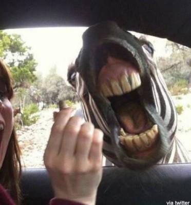 얼룩말의 이빨이 사람과 닮았다