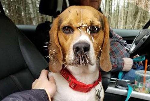집 나갔던 개, 얼굴에 가시 박힌 채 발견