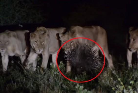 사자 7마리를 이겨낸 동물은?