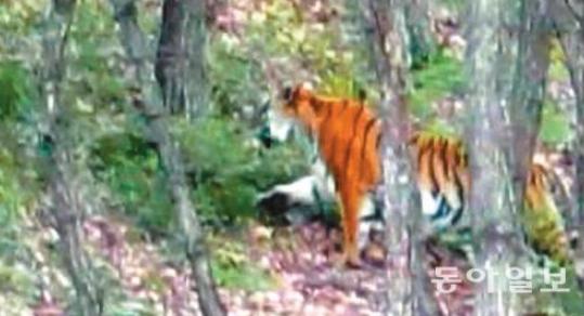 먹이 찾아 어슬렁~ 야생 백두산호랑이 中훈춘서 영상 촬영