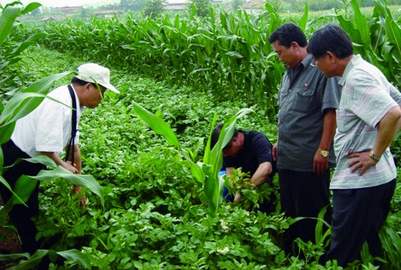 생산량 최대인 고구마, 북한 식량부족 해결에 제격